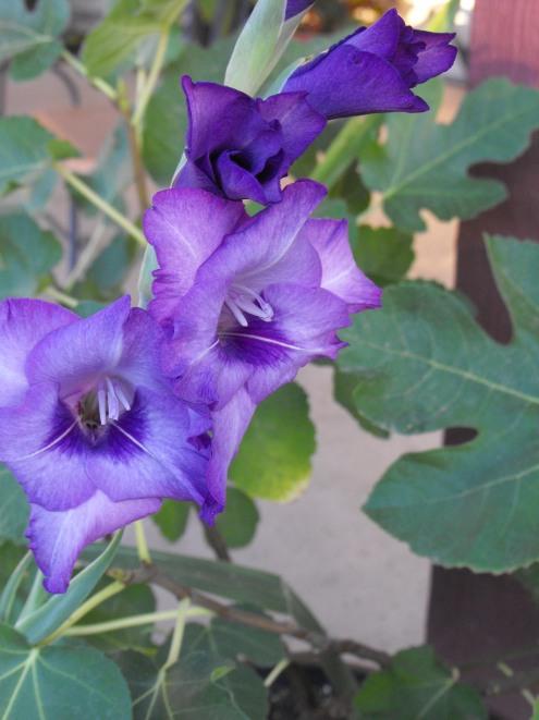 purple7